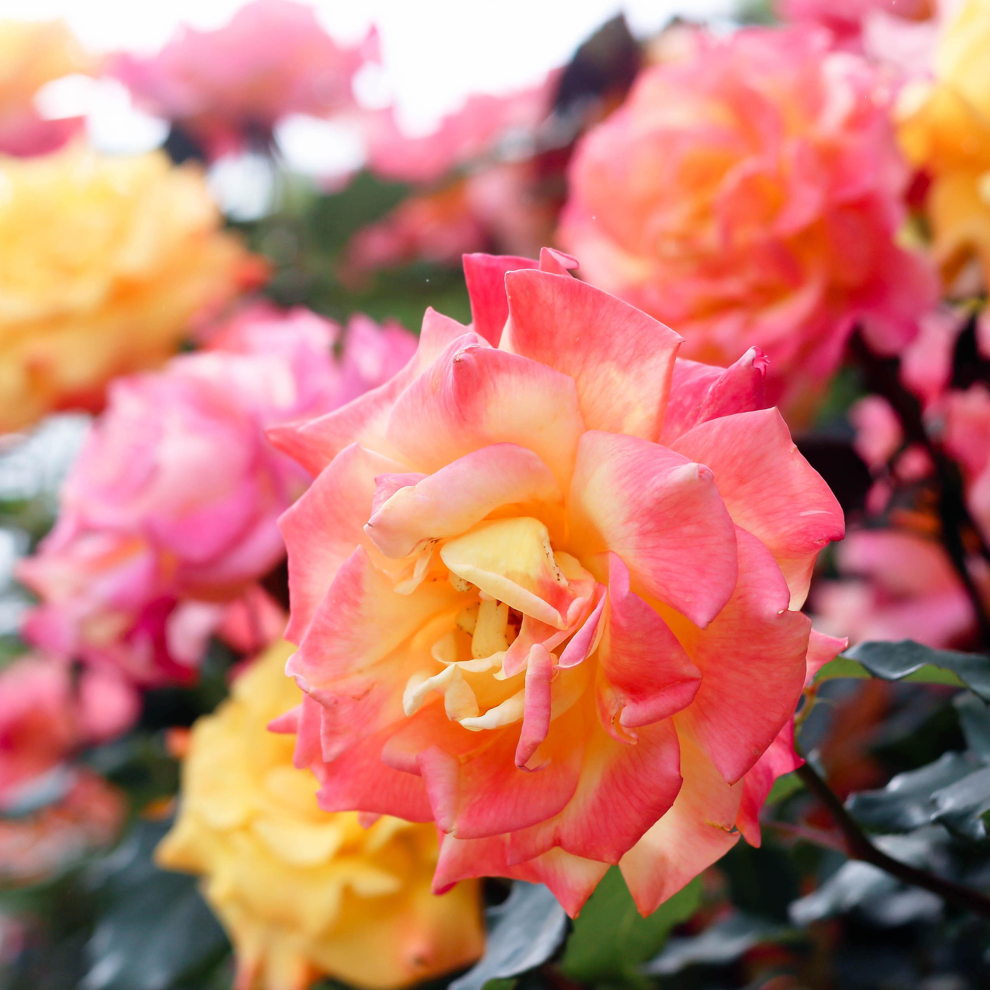 rosefesta01